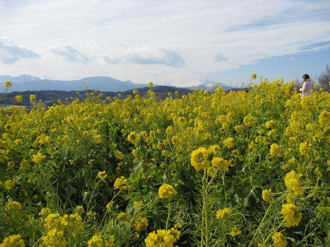 冬でも菜の花が楽しめる 吾妻山公園の展望台