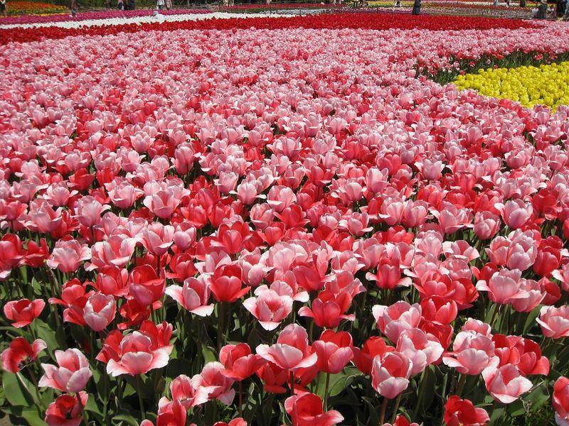 春を体感!国内のチューリップ畑が広がる名所スポット10選