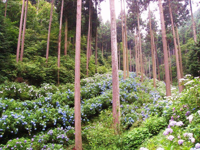 雨の日がお勧め!あじさいが美しく咲き乱れる東京・あきる野市の「南沢あじさい山」