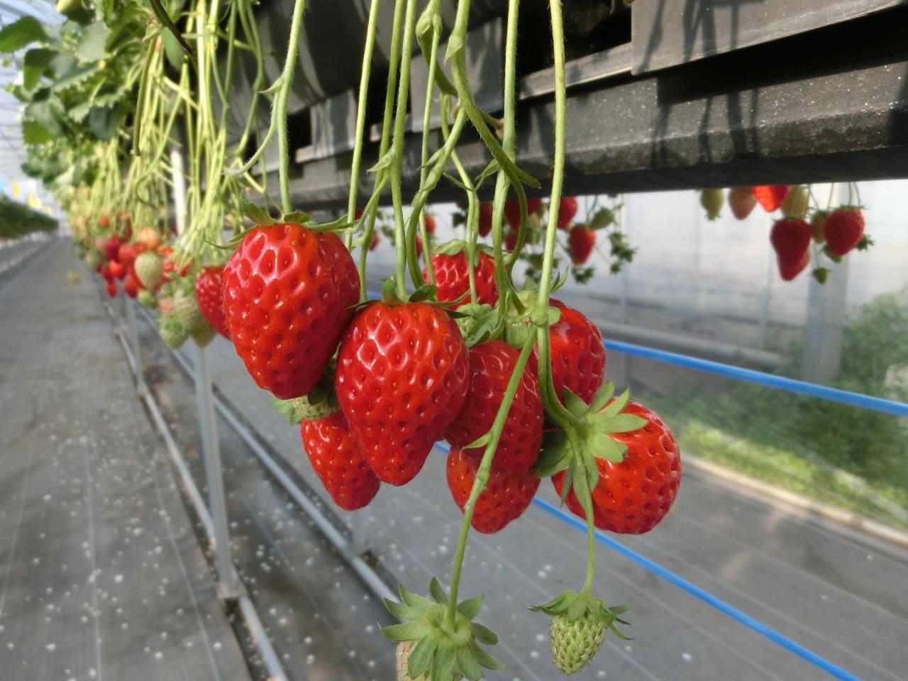 栽培されているのは、章姫と紅ほっぺ