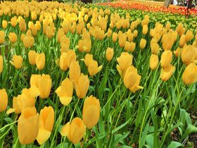 横浜の街に花!?横浜公園のチューリップ&赤レンガ倉庫のガーデンが綺麗!