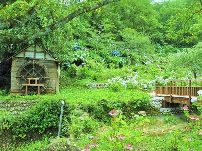 雨の季節が待ち遠しい紫陽花