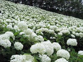 梅雨に降る雪!?東京サマーランドの紫陽花「アナベルの雪山」が純白で美しい