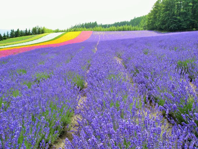夏の絶景!富良野のラベンダー畑といえば「ファーム富田」