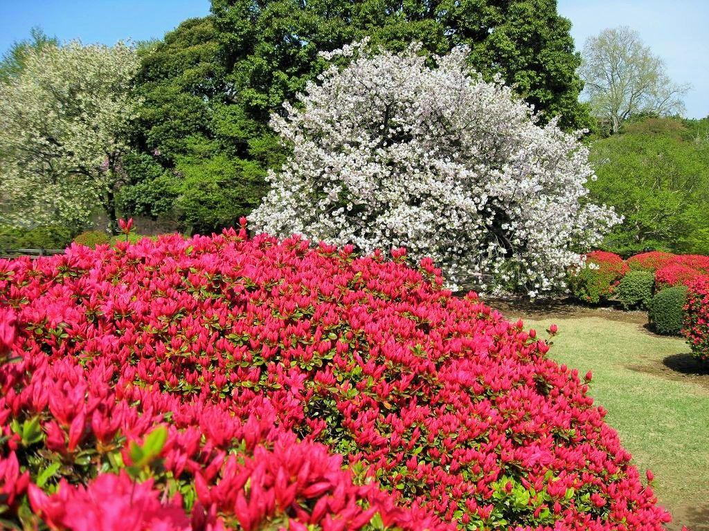 枝垂れ桜はまるで桜のシャワーのよう