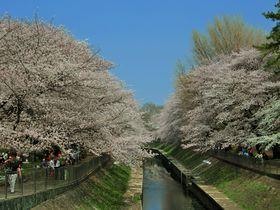 インスタ映え桜絶景スポット!東京・杉並「善福寺川緑地公園」