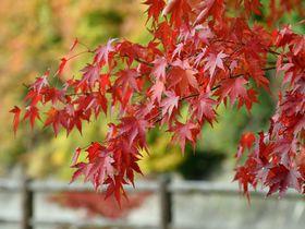秋深し。わたらせ渓谷鉄道に乗って、朝日を浴びた沿線の紅葉を独り占めしよう!