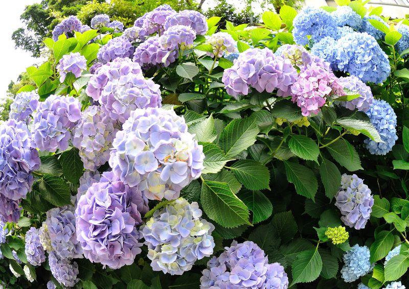 初夏の鎌倉を撮る〜歴史的遺産と紫陽花や涼しげな竹林を求めて〜