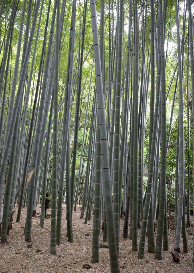 「竹寺」の別名で知られる報国寺。境内の竹林を抜ける初夏の涼風で心洗われてみよう。