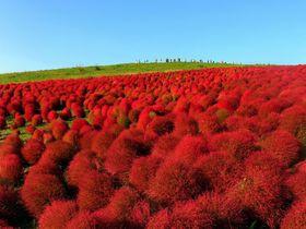 モフモフの赤い世界は必見!茨城「国営ひたち海浜公園」で秋を大満喫!2017