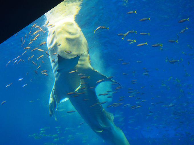 <コース3>17:00〜「ジンベエザメの餌付け」を見よう!
