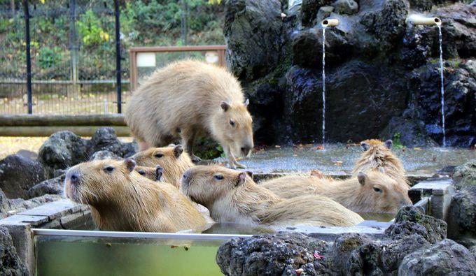 埼玉県こども動物自然公園の「カピバラ温泉」開催中!