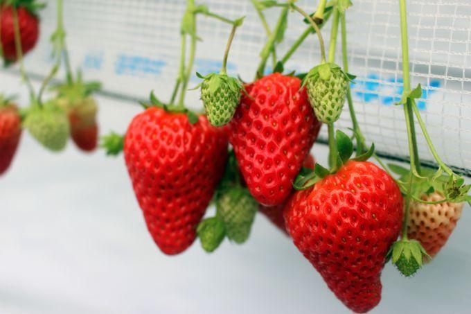数種類のいちご1時間食べ放題!関東最大級「越谷いちごタウン」が人気沸騰中!6月上旬まで