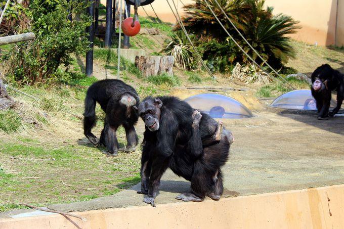 「おやつちょ〜だい!」と手を振るチンパンジーがかわいい!