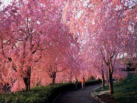 しだれ桜のトンネルは感動モノ!茨城「常陸風土記の丘」でお花見!夜桜のライトアップも!|茨城県|トラベルjp<たびねす>