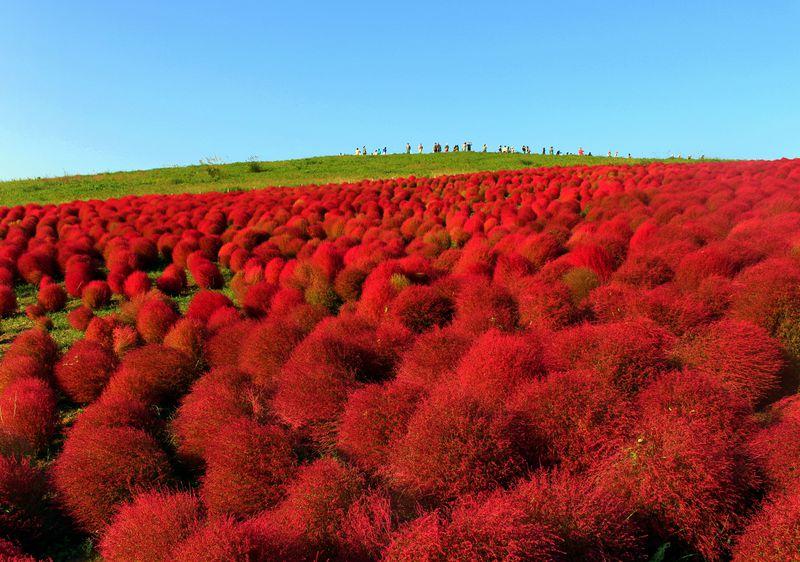 モフモフの赤い世界は必見!茨城「国営ひたち海浜公園」で秋を大満喫!