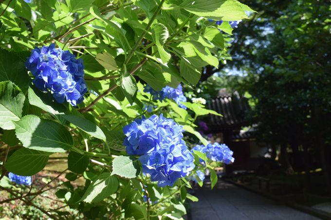 桜、あじさい、銀杏…竹庭だけじゃない報国寺