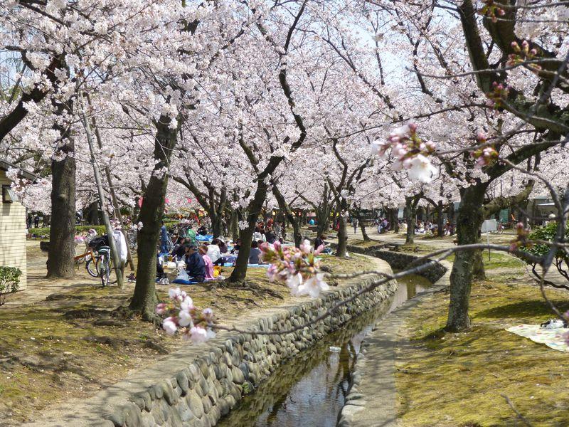 「桜祭り」でにぎわう西武庫公園&武庫川河川敷を散策
