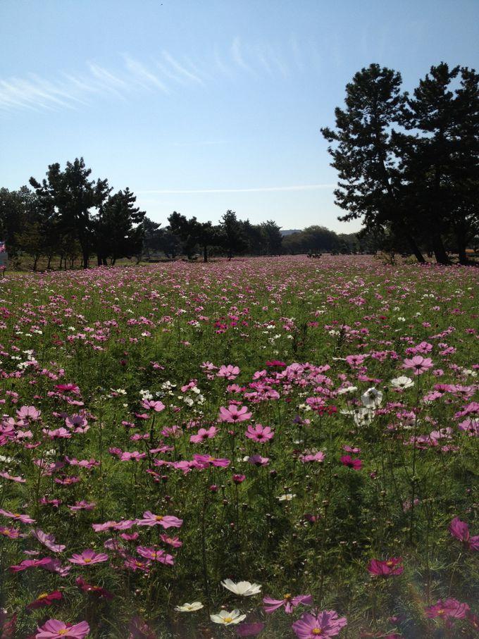 秋には近くでコスモス畑が見られます