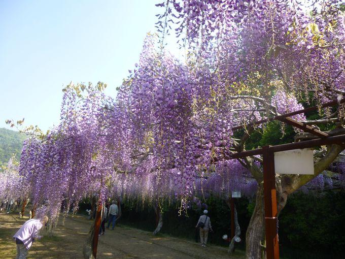 日本一の藤棚「和気の藤公園」