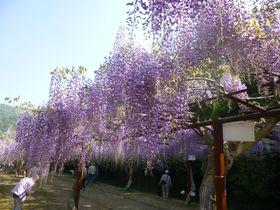 紫の雲の下を歩く〜岡山・和気の藤まつり
