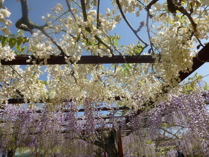 100種類の藤が咲き乱れる公園