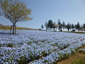 ネモフィラと芝桜の共演&ご当地グルメ!GWは群馬・太田市へ