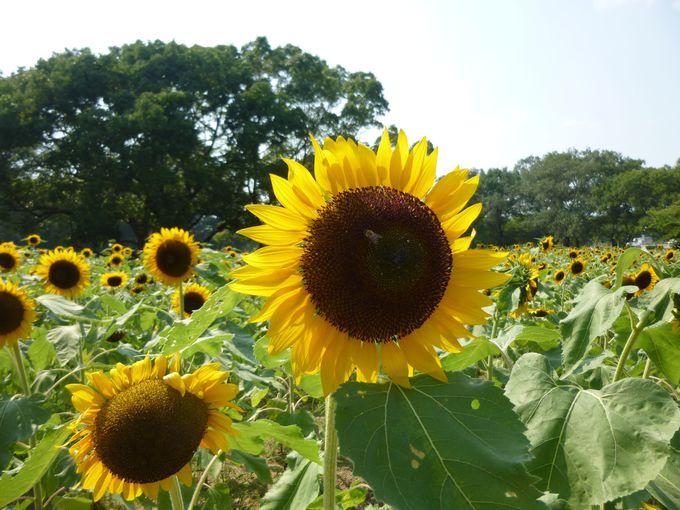 17.万博記念公園ひまわりフェスタ/大阪