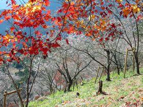 儚く、あざやか。群馬・桜山公園の冬桜と紅葉&ライトアップ