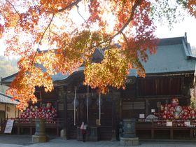 真っ赤な紅葉とだるまを楽しむ。秋の少林山達磨寺(群馬・高崎)