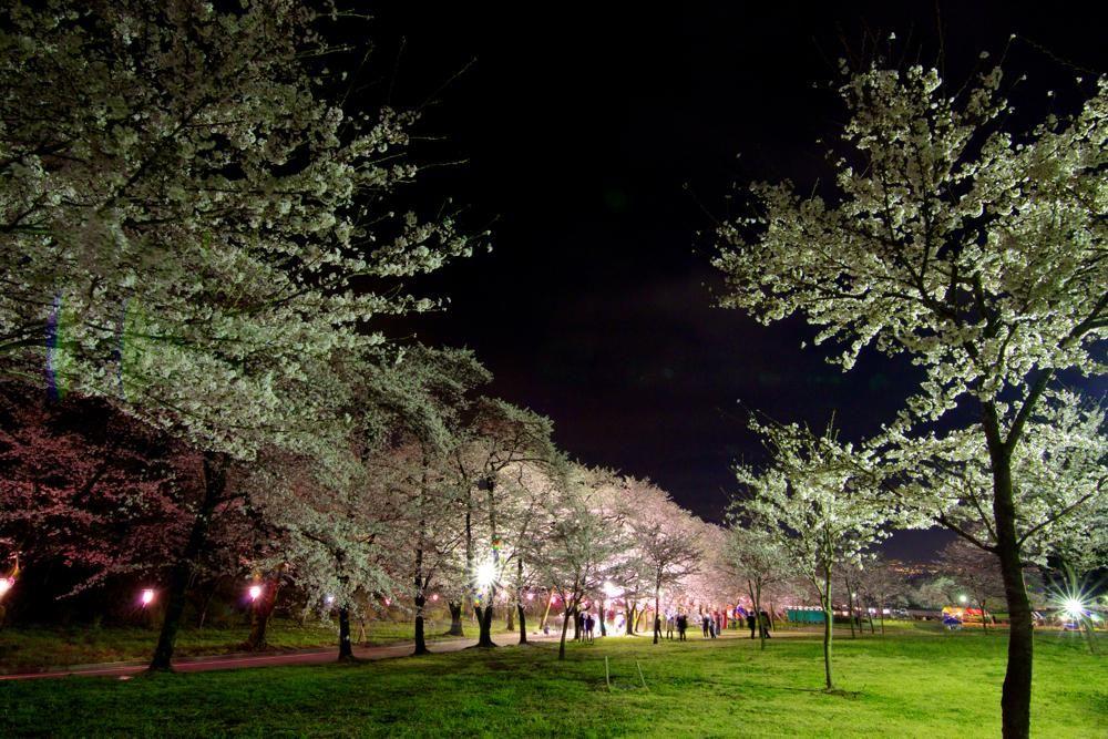 夜にはライトアップも。夜桜鑑賞はまた違った風情