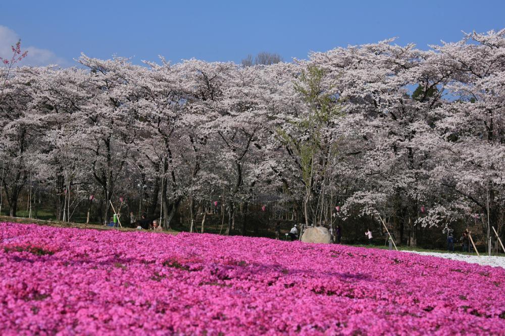 群馬随一のお花見スポット!赤城南面千本桜は桜トンネル&芝桜とのコラボが美しい