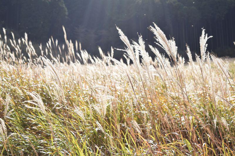 まるで黄金の海。秋の箱根で絶対行きたい「仙石原すすき草原」ランチ情報も