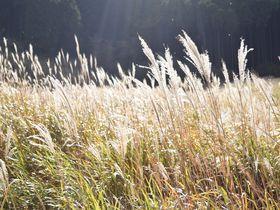 まるで黄金の海。秋の箱根で絶対行きたい「仙石原すすき草原」ランチ情報も|神奈川県|トラベルjp<たびねす>