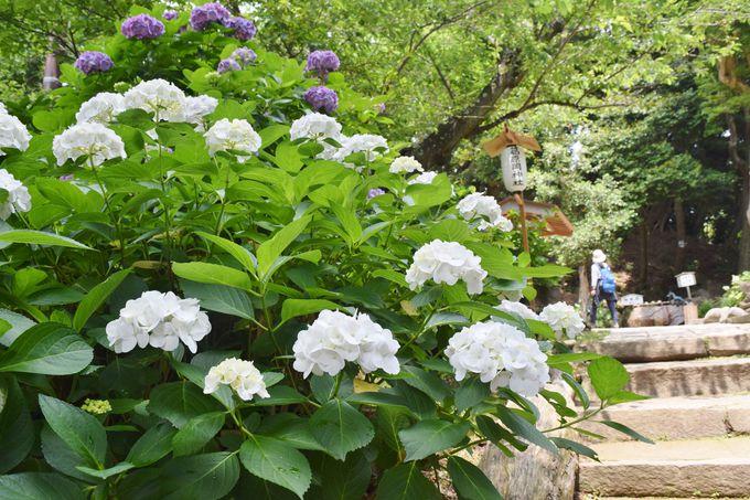 葛原岡神社の境内・参道にもあじさいが咲き誇る