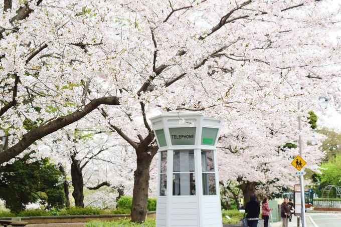 レトロなたたずまいの公衆電話ボックスと桜
