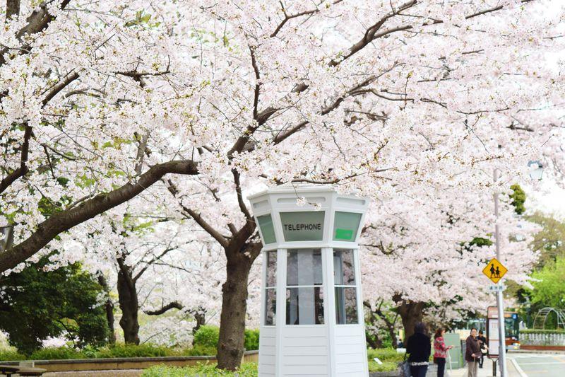 桜に包まれるレトロ電話ボックス。横浜・山手エリアを春散歩