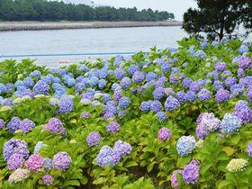海とあじさいの絶景!横浜・八景島シーパラダイス「あじさい祭」