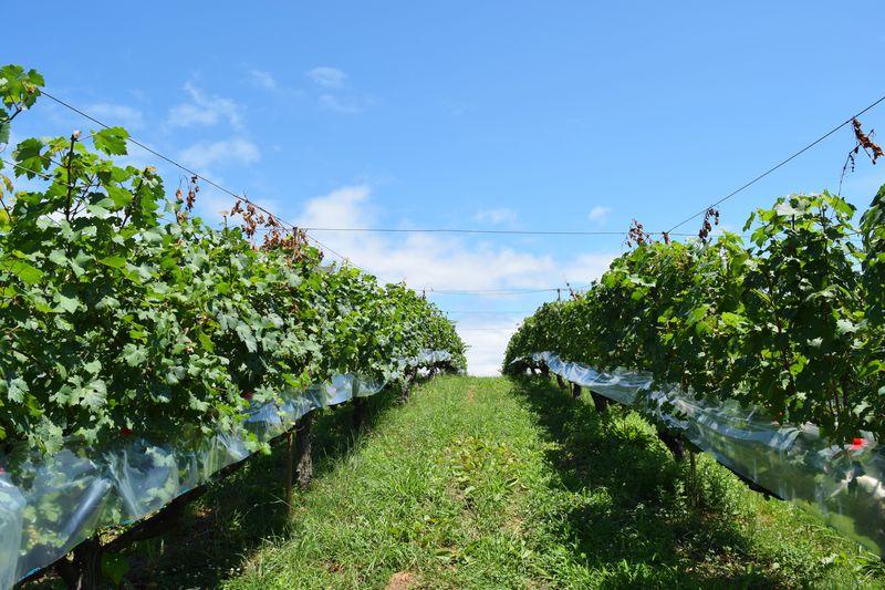 空に続くブドウ畑にワインのお城。神戸ワイナリー農業公園の歩き方