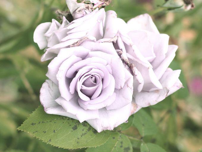 奇跡のバラと言われる青いバラ