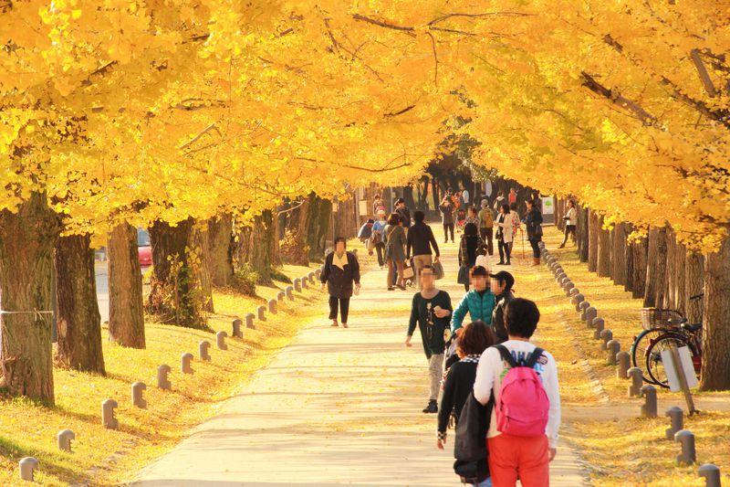 黄色い絨毯!岐阜県各務原市「冬ソナストリート」のイチョウ並木