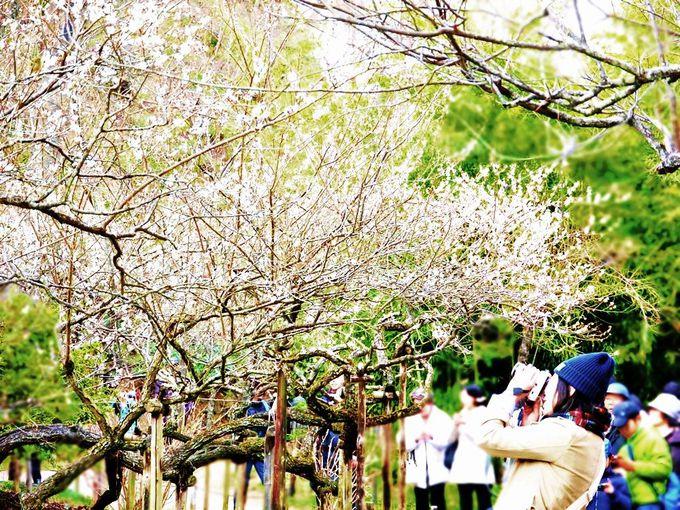 上海の緑萼梅、岐阜県の柳津高桑星桜、聴秋閣の紅葉は絶品