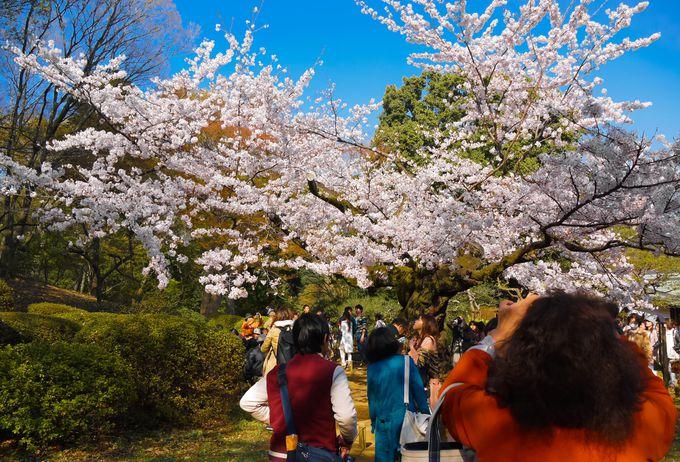 3.一本桜「六義園」