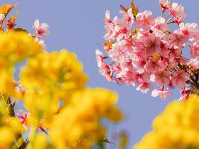 ガイドブックに掲載されていない!東京の河津桜スポット5選|東京都|トラベルjp<たびねす>