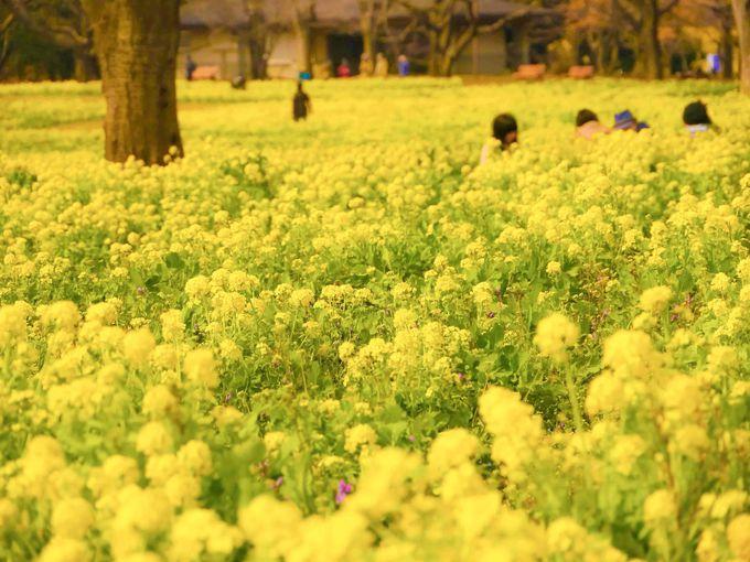 原っぱ東花畑のナノハナと残堀川の桜(3月下旬〜4月中旬)