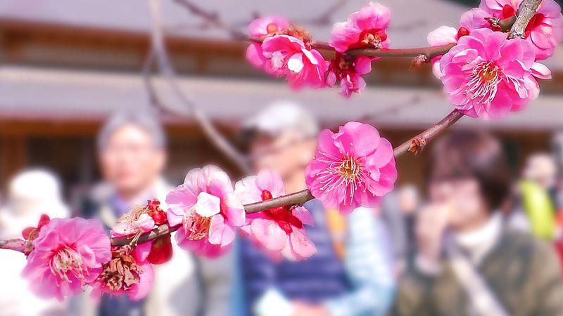 あなたが知らない世界、梅の作法「送梅」で楽しむ春の偕楽園