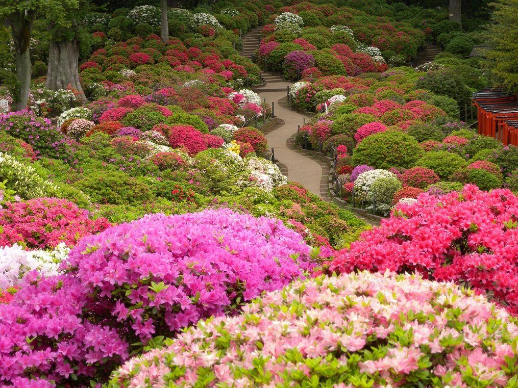 根津神社で見ることができるツツジの種類