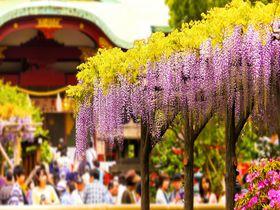 藤棚の佳景 亀戸天神社は天神様に縁の糸でつながれる学問神社|東京都|トラベルjp<たびねす>