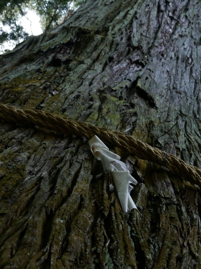 五柱神社にある東京で一番大きい杉の木