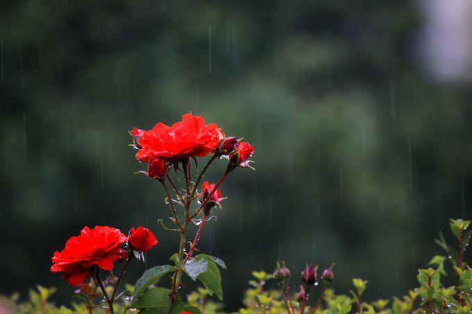 新宿御苑のバラ鑑賞は雨の日デートでも大丈夫!